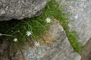 高山植物 (1).JPG