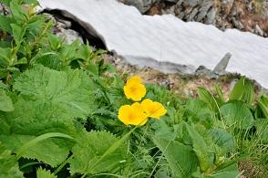 高山植物 (2).JPG
