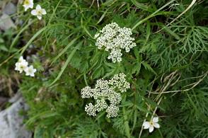 高山植物 (4).JPG