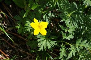 高山植物 (5).JPG