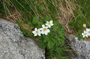 高山植物 (6).JPG