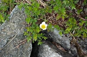 高山植物 (3).JPG